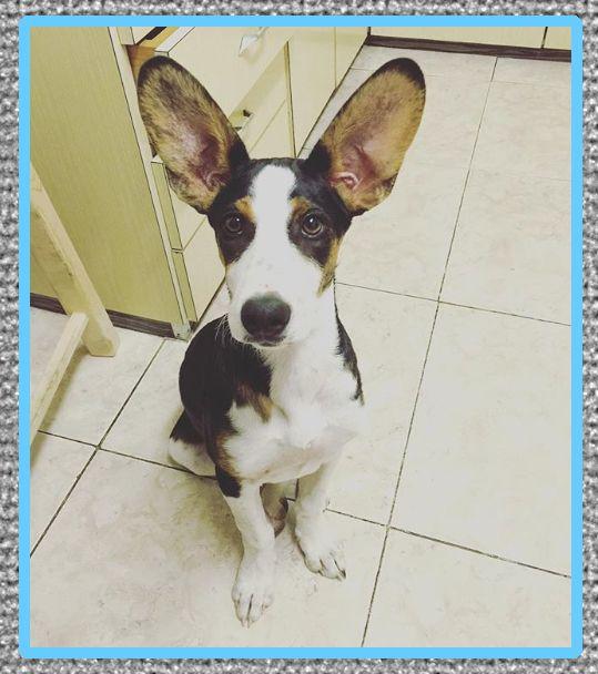 medicina para cartilago orejas perros
