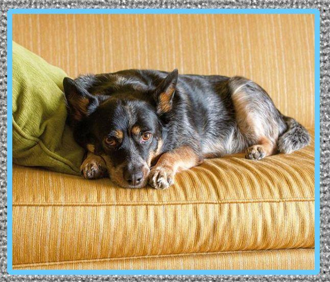 medicina para la diarrea en perros