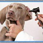 Medicamentos para Curar la Otitis en los Perros