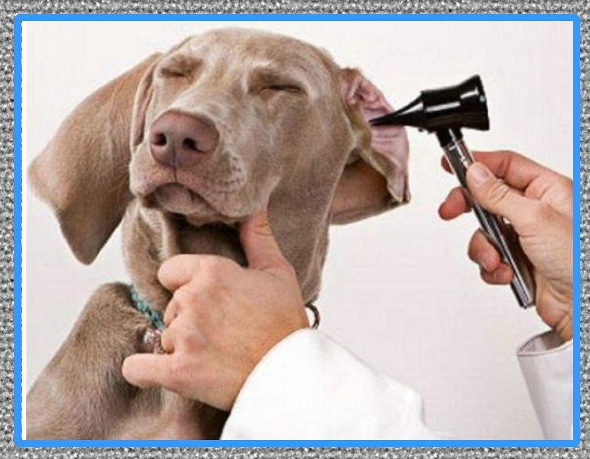 medicina para aliviar la otitis en los perros