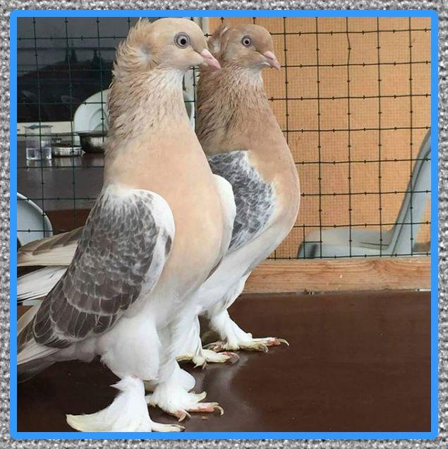 medicina para palomas mensajeras de farmacia