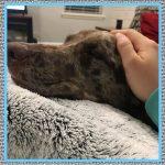 Medicamentos para Perros con Fiebre