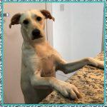 Prednisona en Perros y Sus Efectos Secundarios