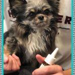Antibiótico para Perros Infección Estomacal