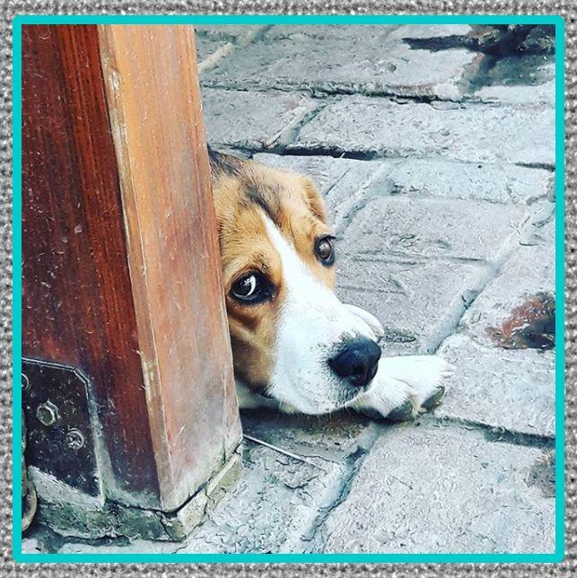 medicina para conjuntivitis en perros