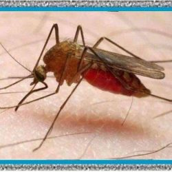 Malaria qué es y Síntomas: Tratamiento para Malaria